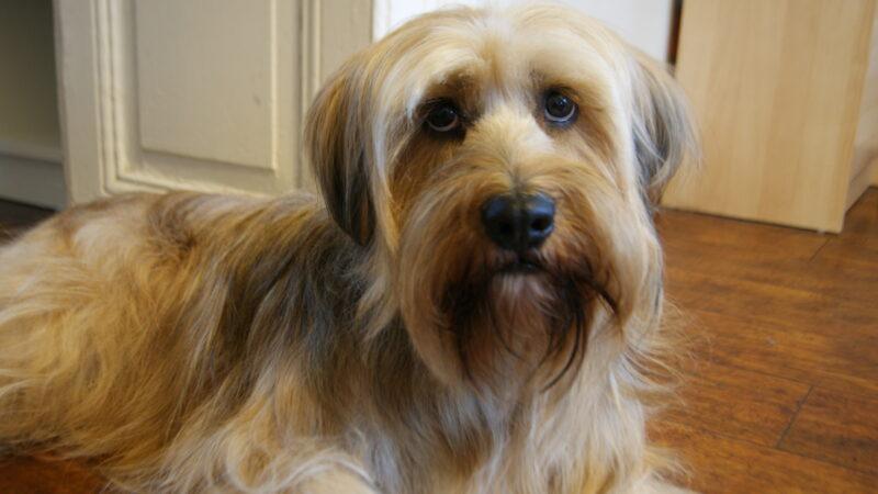 Gordon Hundeshop Tibet Terrier
